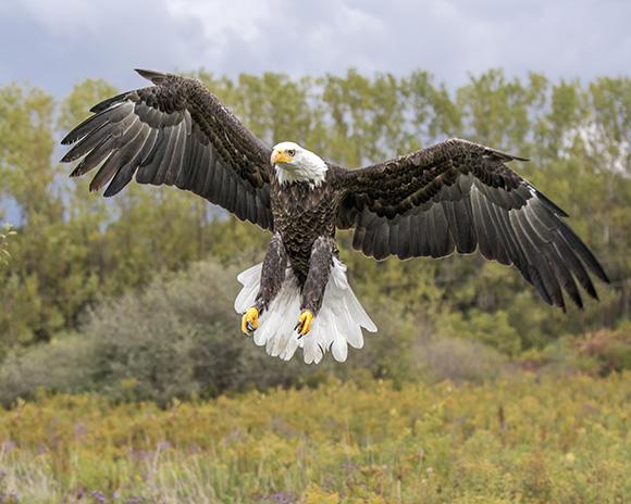 bald-eagle-0474-8x10-2