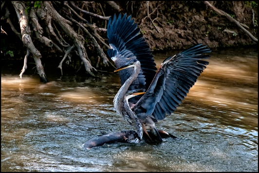 BillG_CAPA_N_Heron-Fight-2012-03-15_20 PiF